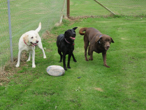 PHOTO: 3 healthy & happy labradors with ball