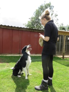 PHOTO - Collie being trained