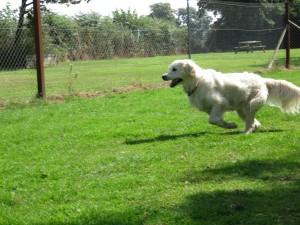 PHOTO - Golden Retriever running