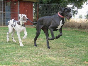 PHOTO - Great Danes chasing