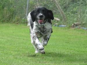 PHOTO Running spaniel