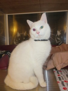 PHOTO - White cat with Red Eye