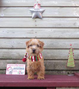 PHOTO Norfolk terrier puppy posing