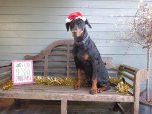 PHOTO Doberman sitting on a bench wearing a Santa hat